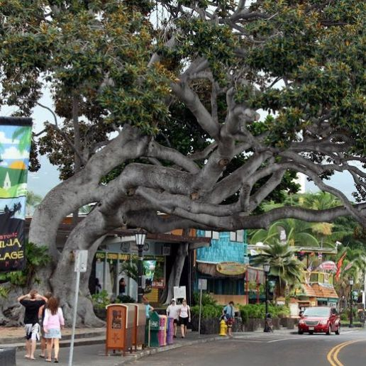 kona hawaii tree